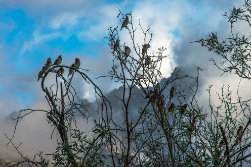 Cedar Waxwing (1 of 1)-2 blog