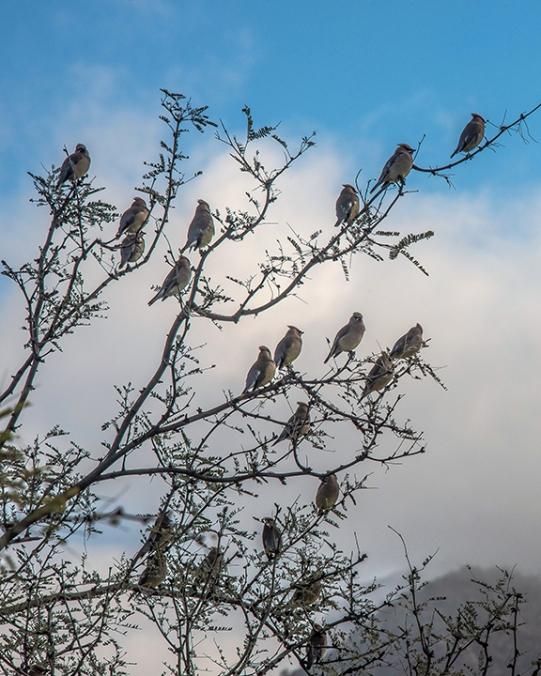 Cedar Waxwing (1 of 1)-5 blog