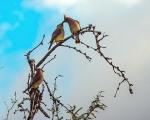 Cedar Waxwing (1 of 1)-9blog
