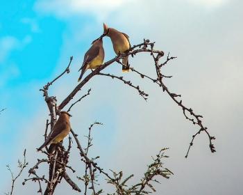 Cedar Waxwing (1 of 1)-9 blog