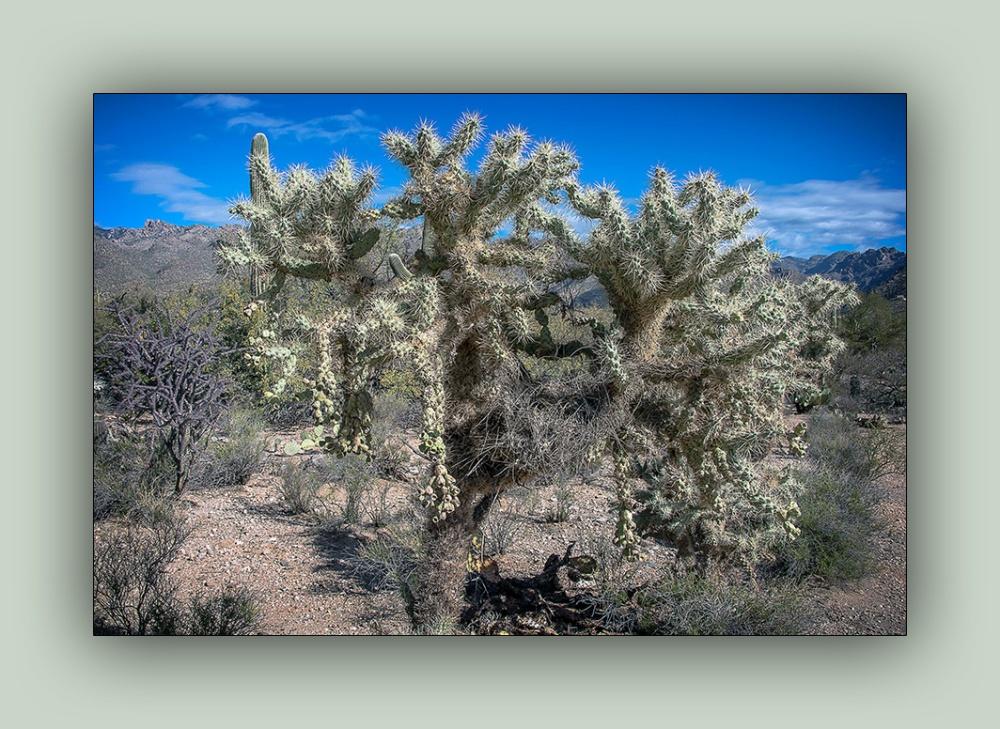 Cholla-cactus-january-27-2014-9646-2-blog