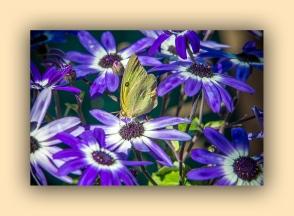 Southern Dogface Butterfly (1 of 1)-2 blog