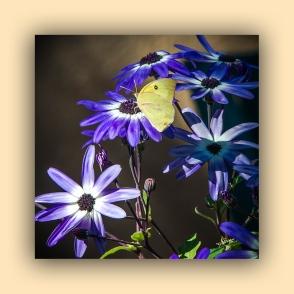 Southern Dogface Butterfly (1 of 1)-3 blog