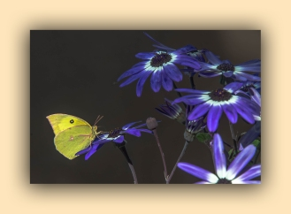 Southern Dogface Butterfly (1 of 1)-4 blog
