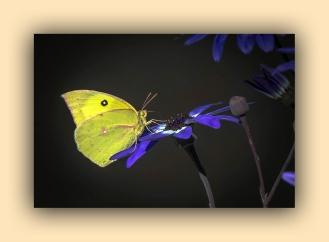 Southern Dogface Butterfly (1 of 1)-5 blog