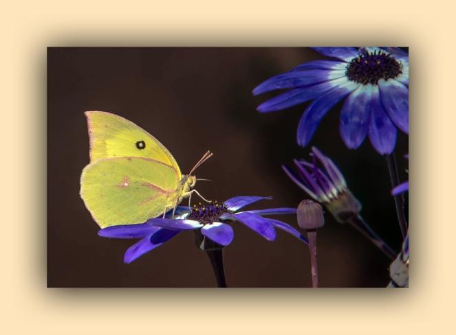 Southern Dogface Butterfly (1 of 1)-6 blog