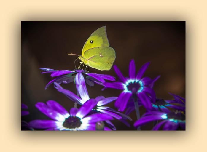 Southern Dogface Butterfly (1 of 1) blog