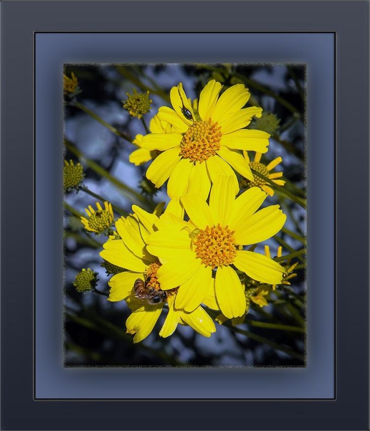 Bee on Brittlebush blossom (1 of 1)-3 blog