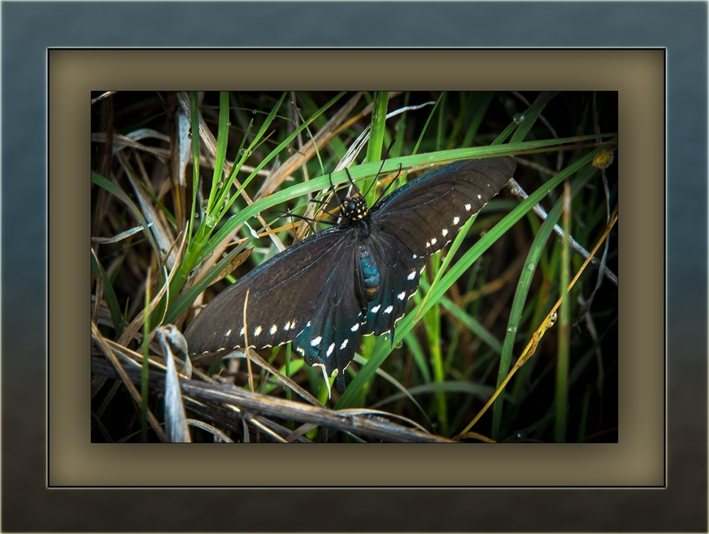 Black Swallowtail (1 of 1)-3 blog