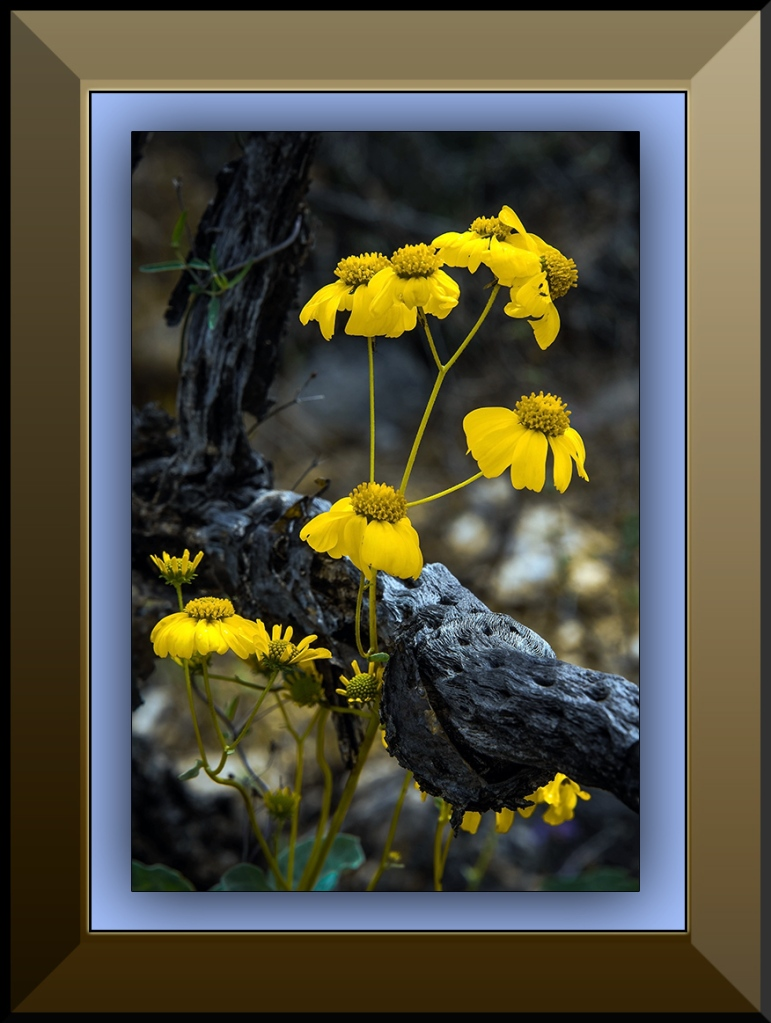 Brittlebush Blossom after rain (1 of 1)-2 blog