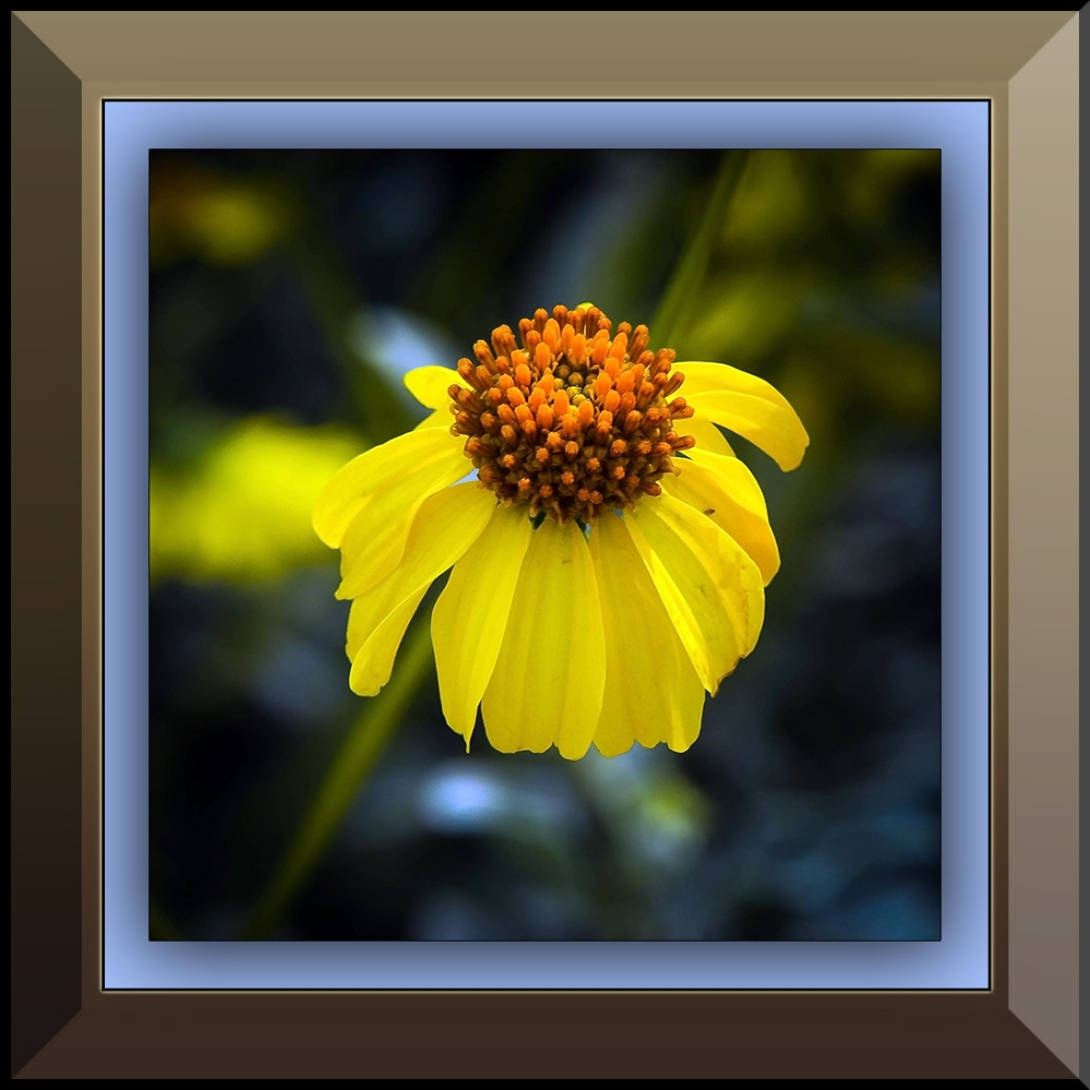 Brittlebush Blossom after rain (1 of 1) blog