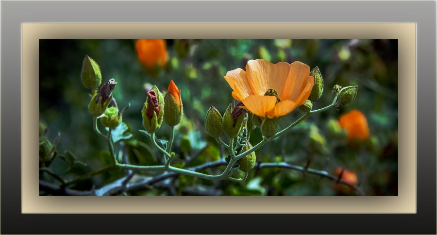 desert globemallow (1 of 1)-2 blog