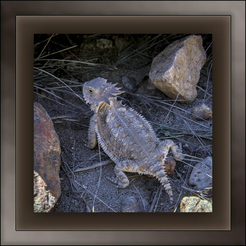 Horned Lizard (1 of 1) blog