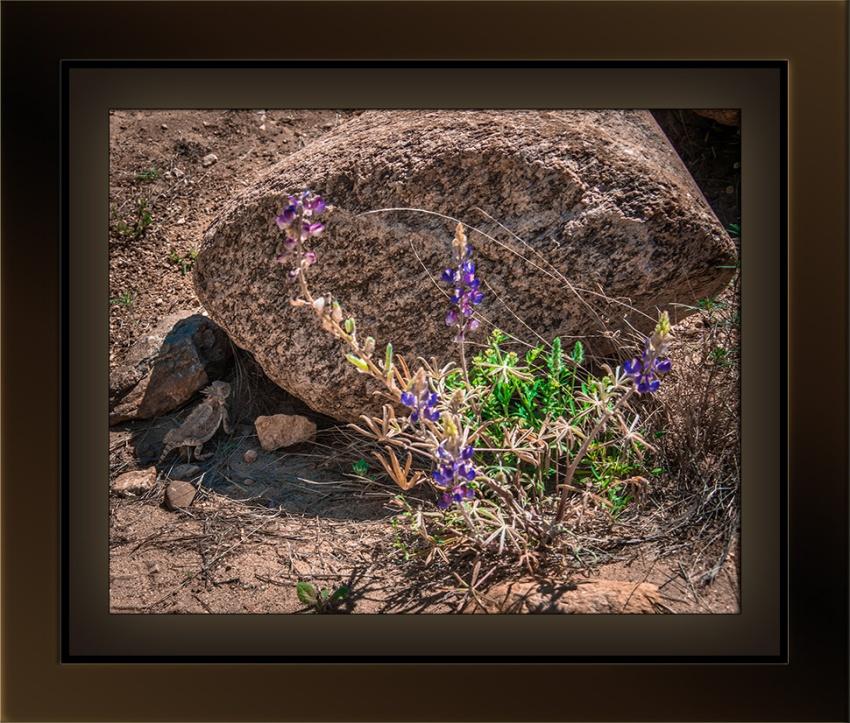 Horned Lizard & Lupine (1 of 1) blog