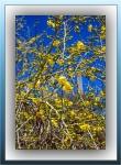 Palo Verde Blossoms (1 of 1)-2blog