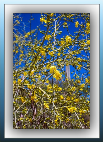 Palo Verde Blossoms (1 of 1)-2 blog