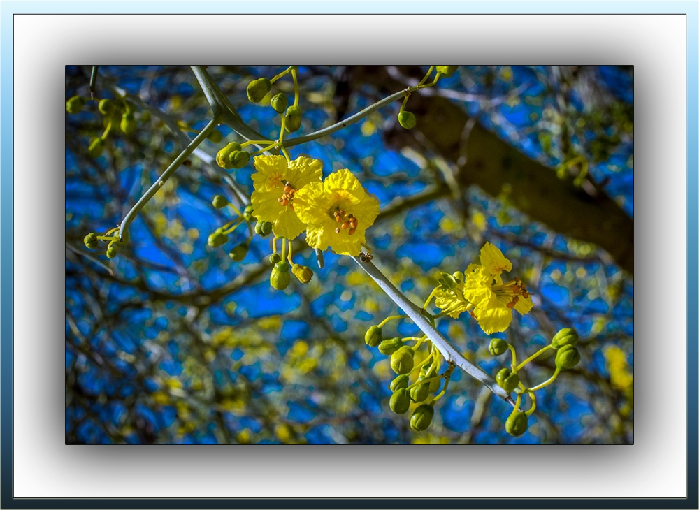 Palo Verde Blossoms (1 of 1)-4 blog