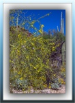 Palo Verde Blossoms (1 of 1)blog