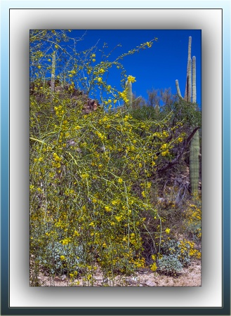Palo Verde Blossoms (1 of 1) blog