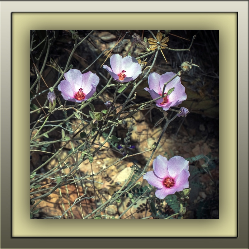 rock hibiscus (1 of 1)-2 blog