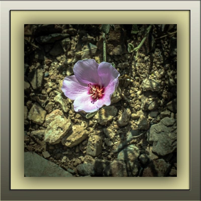 rock hibiscus (1 of 1)-3 blog