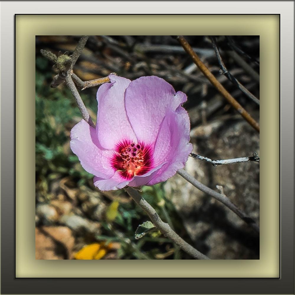 rock hibiscus (1 of 1)-4 blog