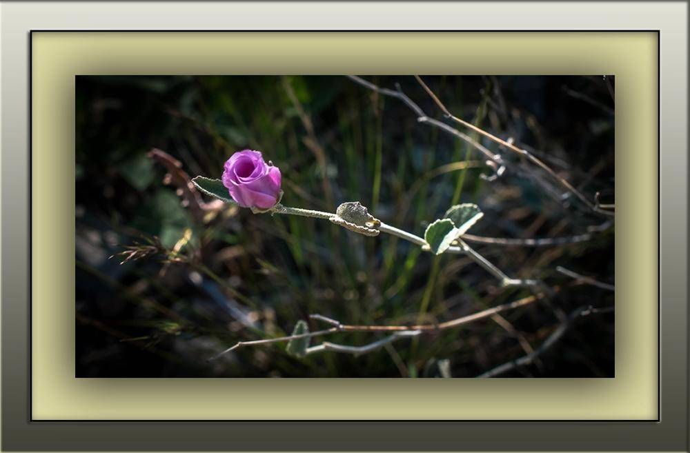 rock hibiscus (1 of 1) blog