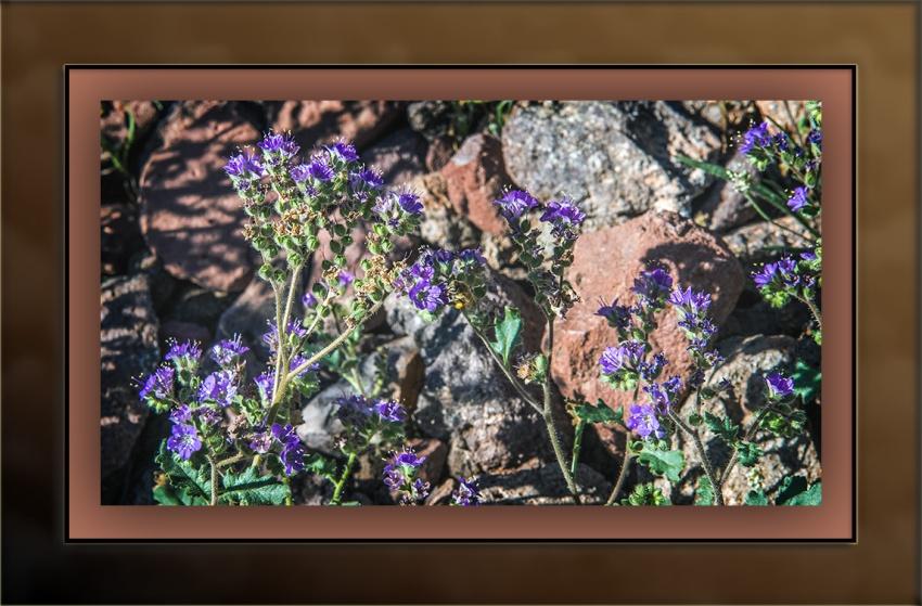 wildflowers (1 of 1)-28 scorpionweed blog
