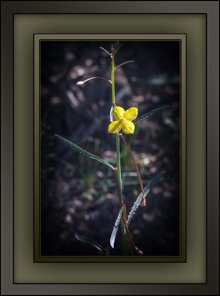 wildflowers Mustard Evening Primrose blog (1 of 1)-27