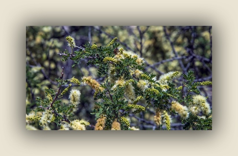 Catclaw Acacia (1 of 1) blog