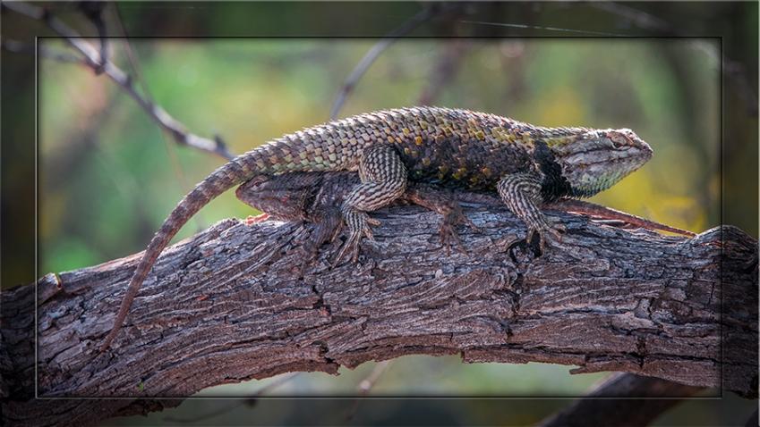 Desert Spiny Lizard (1 of 1) blog