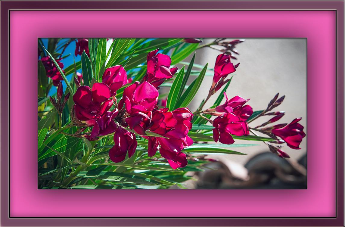 Oleander (1 of 1)-4 blog