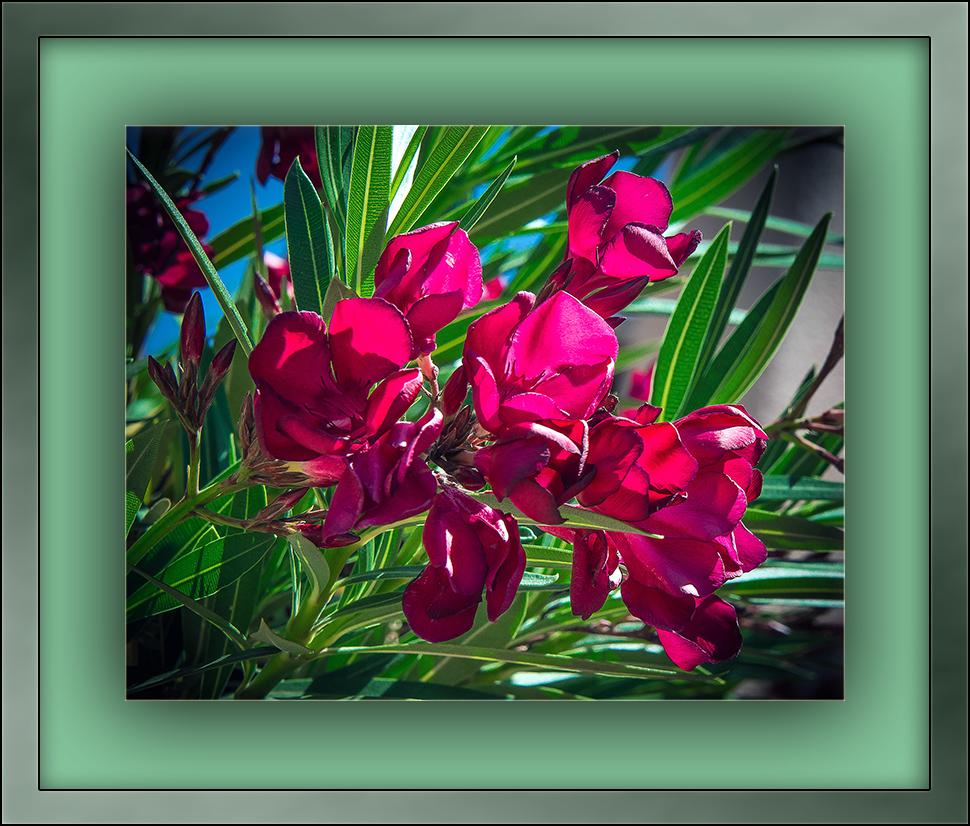 Oleander (1 of 1)-6 blog