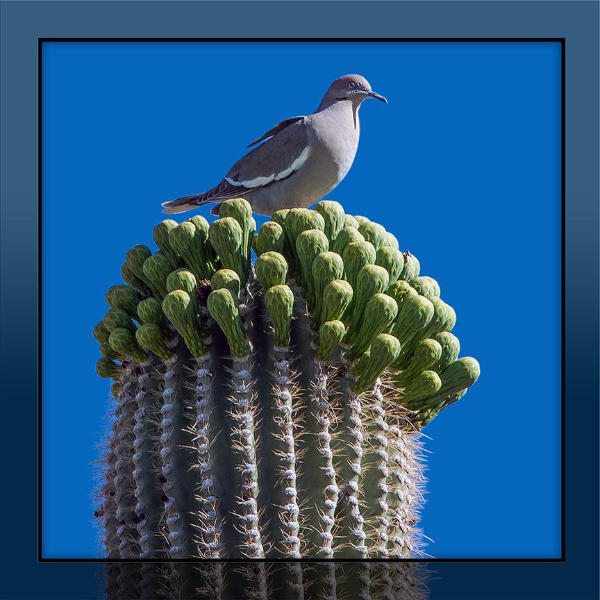 Whitewing Dove (1 of 1) framed blog