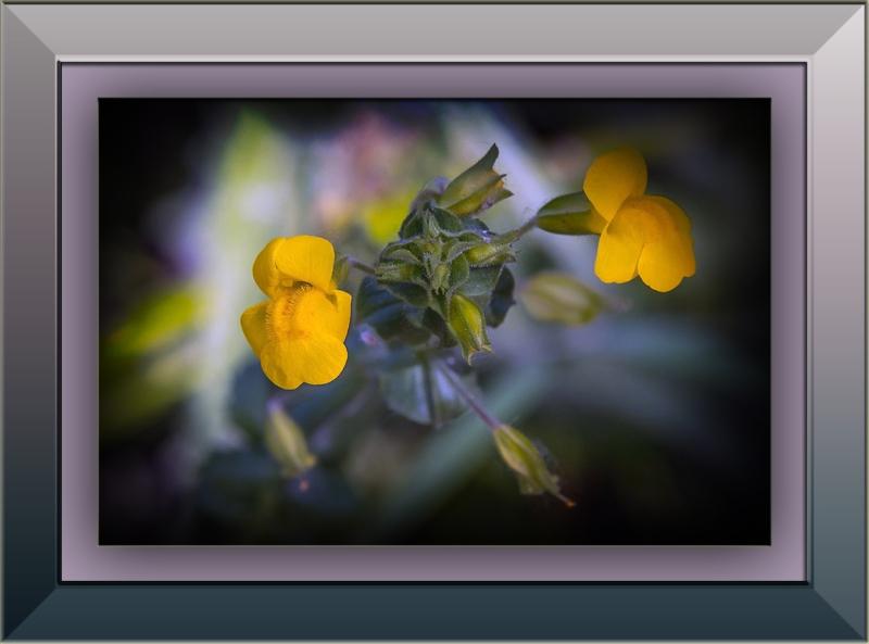 Yellow Monkey Wildflower (1 of 1)blog
