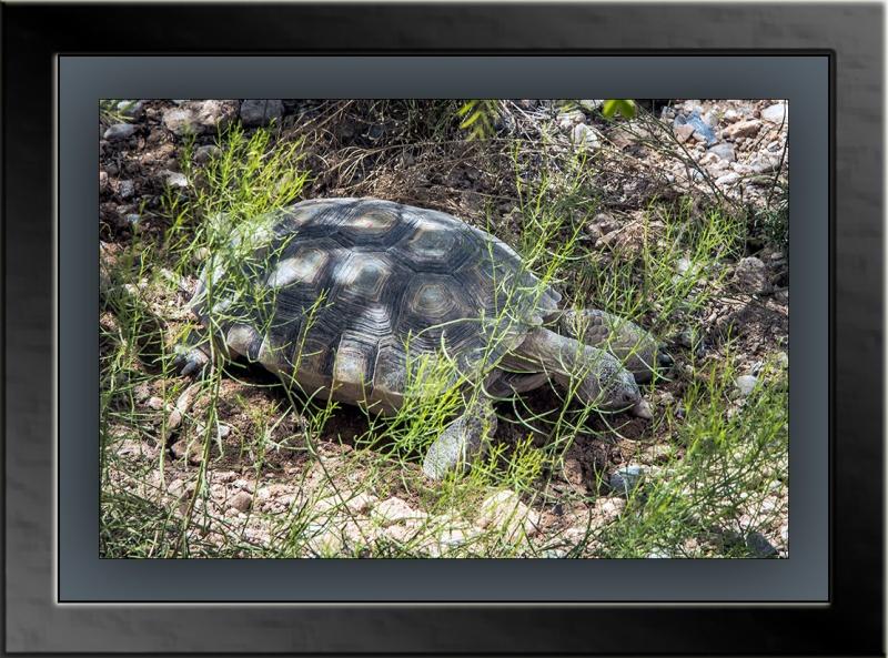 desert tortoise (1 of 1) blog