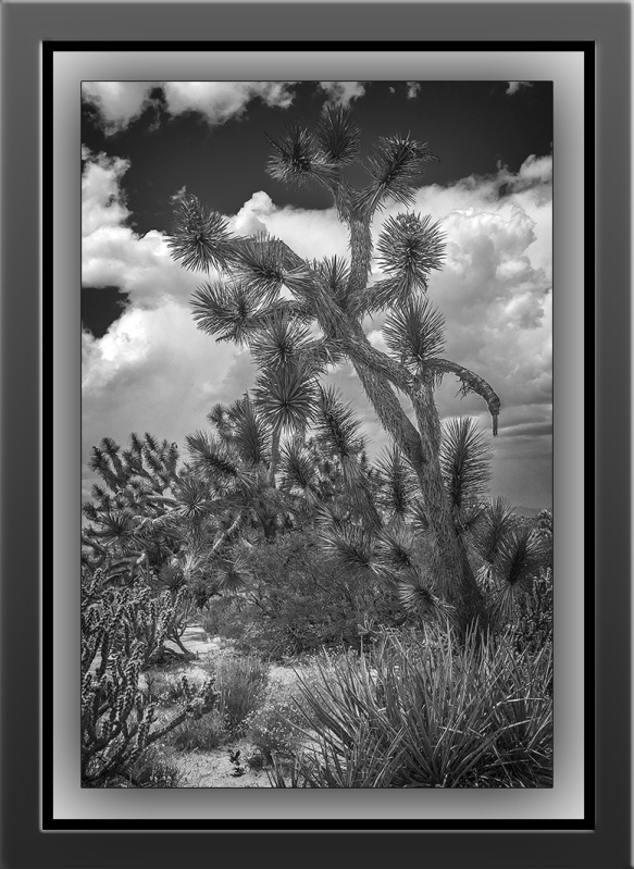joshua tree (1 of 1)-6 B-W blog