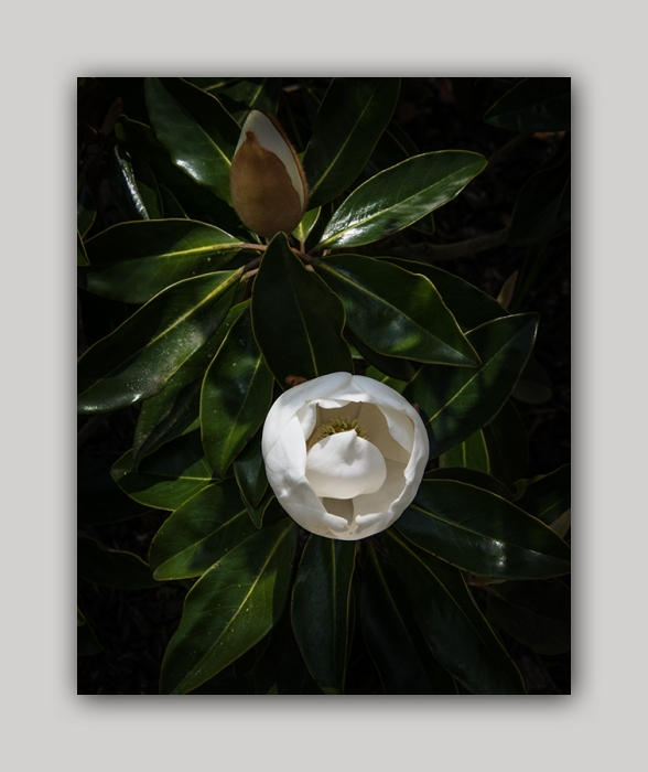 Southern Magnolia Blossoms 2015 05 02_0441_edited-2 blog