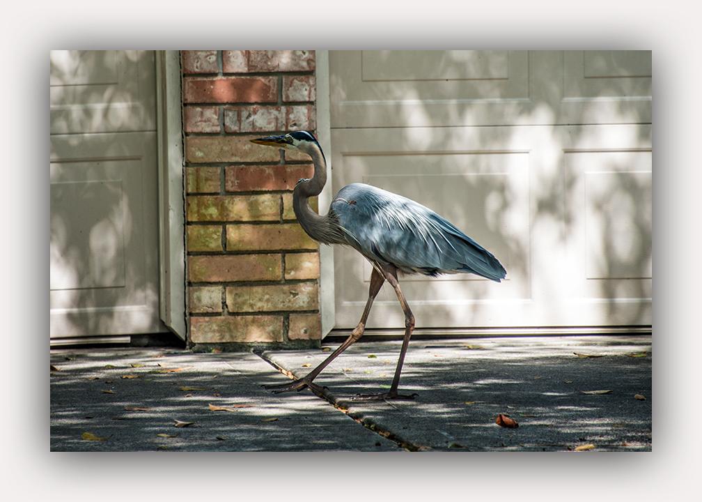 The Woodlands Heron _2015 05 05_0632_edited-2 blog