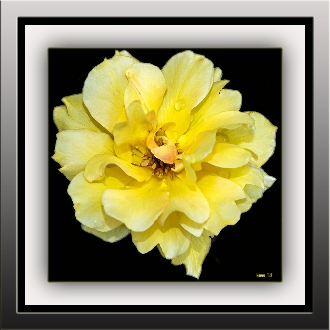 Yellow Rose_2015 05 08_0723_edited-1 blog