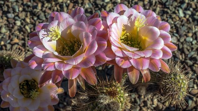 Cactus Flowers (1 of 1)-11 blog