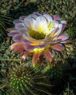 Cactus Flowers (1 of 1)-3 blog