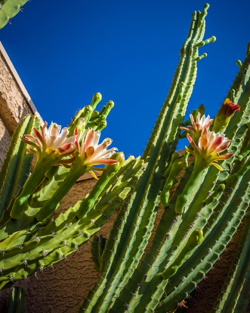 Cactus Flowers (1 of 1)-8 blog