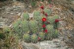 Hedge Hog Cactus (1 of 1)-2blog
