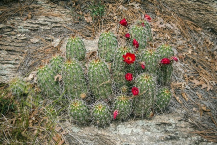 Hedge Hog Cactus (1 of 1)-2 blog