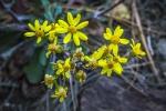 Mountain Marigold (1 of 1)blog