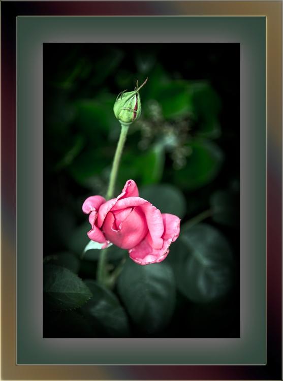 Rose_2015 05 06_0650-blog