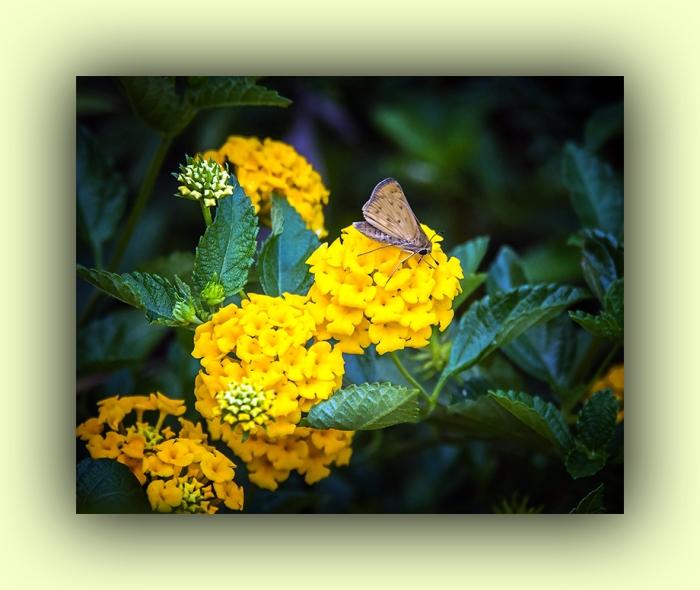 Skipper Butterfly (1 of 1)-2 blog