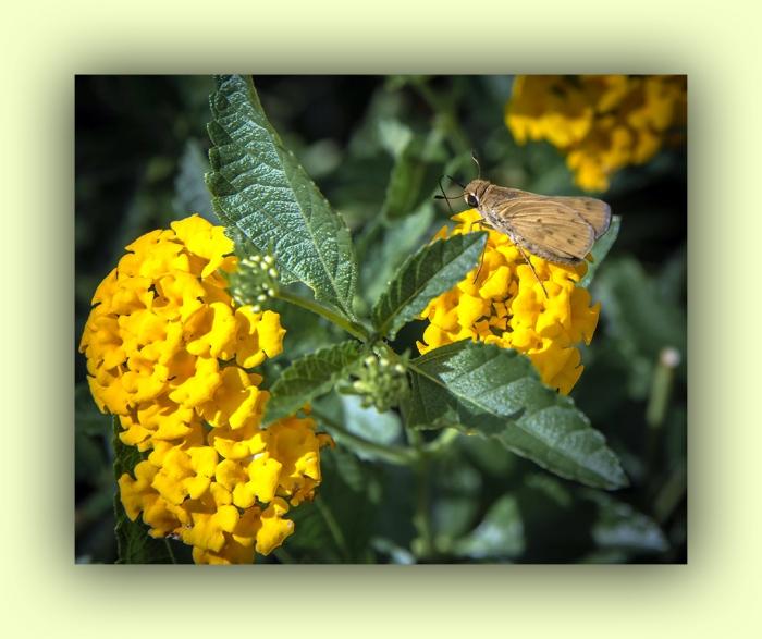 Skipper Butterfly (1 of 1)-3 blog