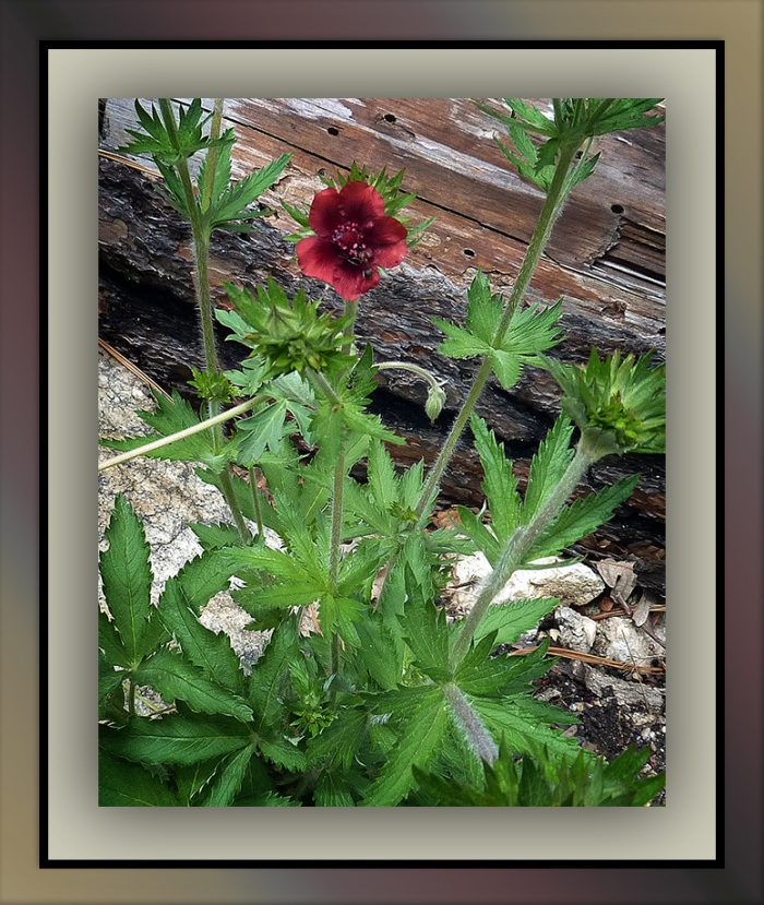 Thurber Cinquefoil Wildflowers-1000817